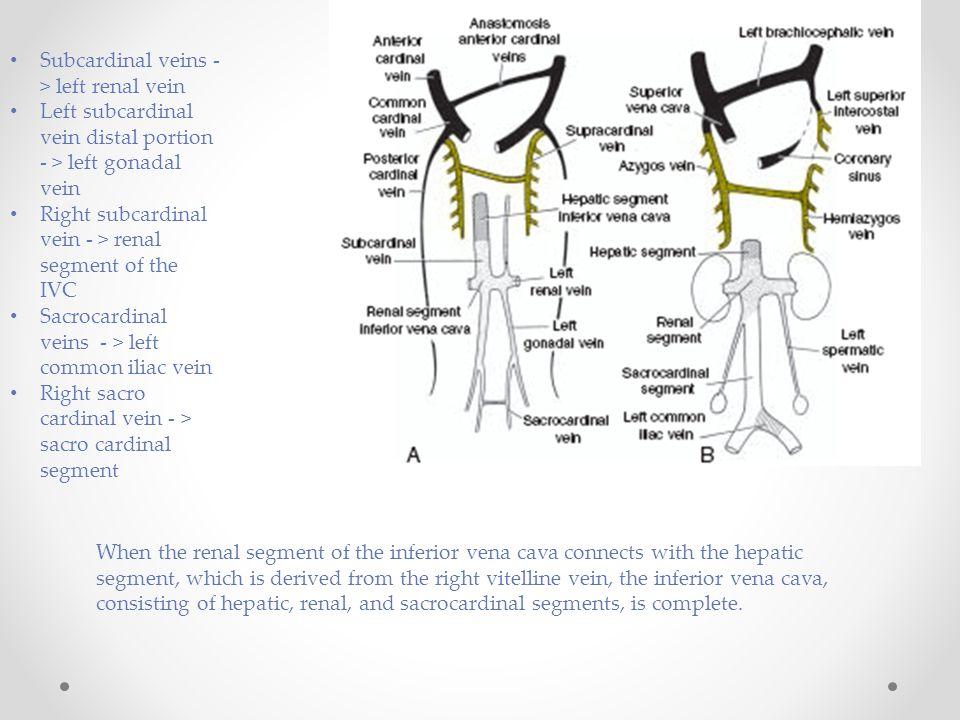 Subcardinal veins - > left renal vein Left subcardinal vein distal portion - > left gonadal vein Right subcardinal vein - > renal segment of the IVC S