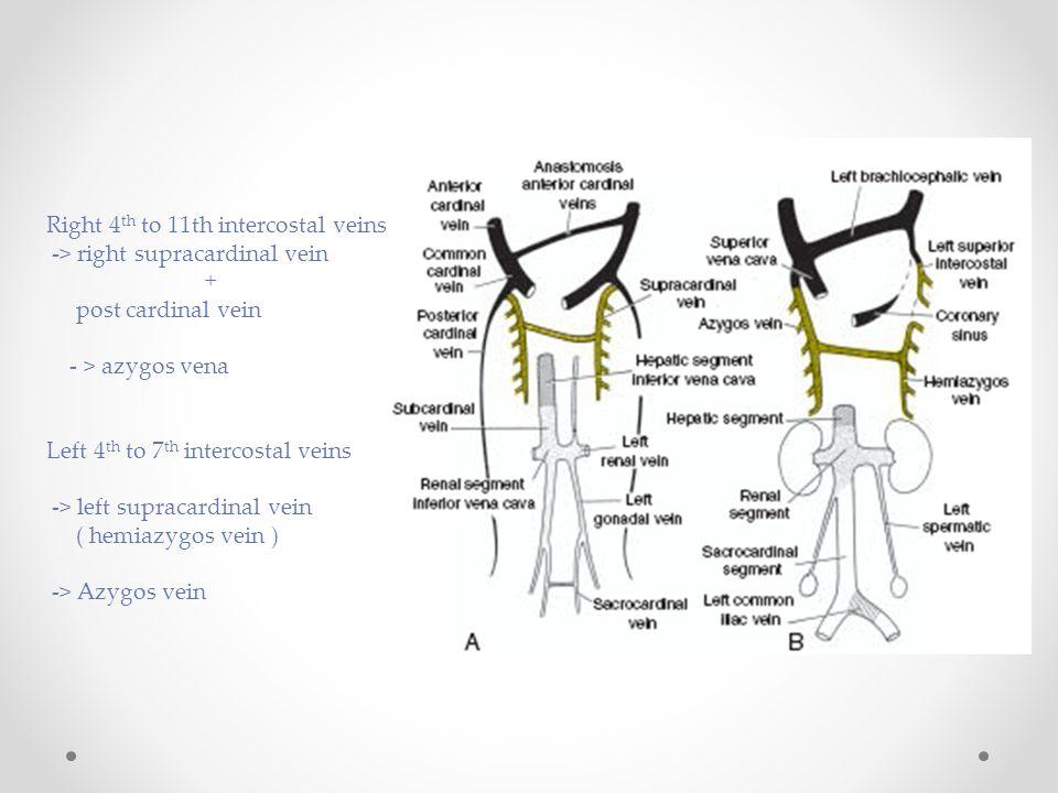Right 4 th to 11th intercostal veins -> right supracardinal vein + post cardinal vein - > azygos vena Left 4 th to 7 th intercostal veins -> left supr