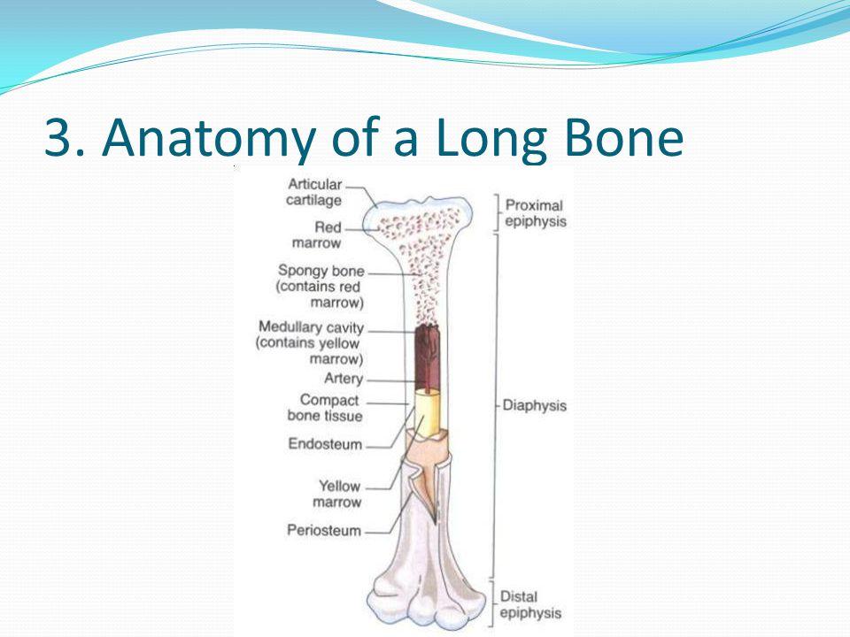 3. Anatomy of a Long Bone