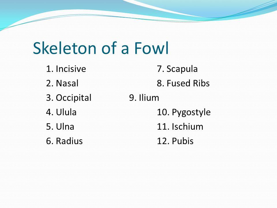 1. Incisive7. Scapula 2. Nasal8. Fused Ribs 3. Occipital9. Ilium 4. Ulula10. Pygostyle 5. Ulna11. Ischium 6. Radius12. Pubis