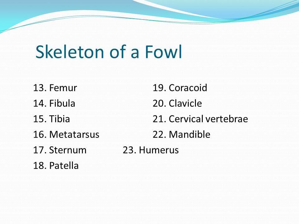 Skeleton of a Fowl 13. Femur19. Coracoid 14. Fibula20. Clavicle 15. Tibia21. Cervical vertebrae 16. Metatarsus22. Mandible 17. Sternum23. Humerus 18.