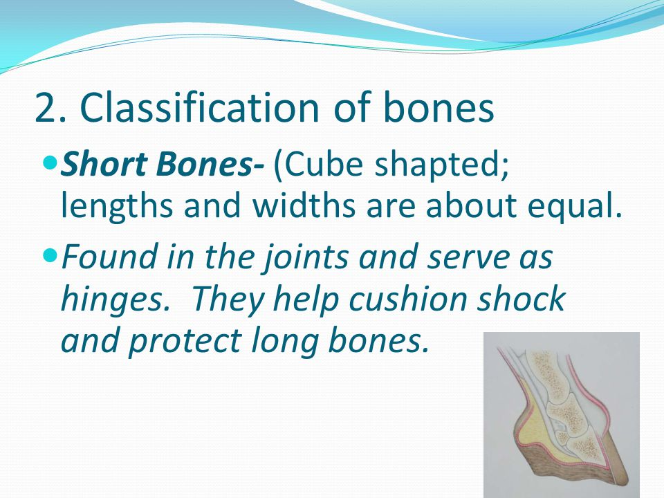 5.Joints Bones are joined together at joints.