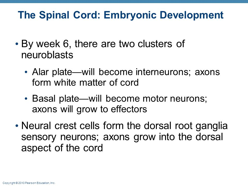 Copyright © 2010 Pearson Education, Inc. The Spinal Cord: Embryonic Development By week 6, there are two clusters of neuroblasts Alar plate—will becom