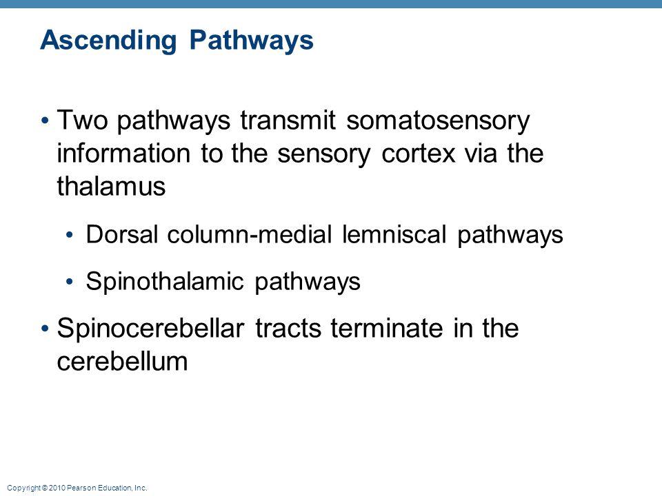 Copyright © 2010 Pearson Education, Inc. Ascending Pathways Two pathways transmit somatosensory information to the sensory cortex via the thalamus Dor