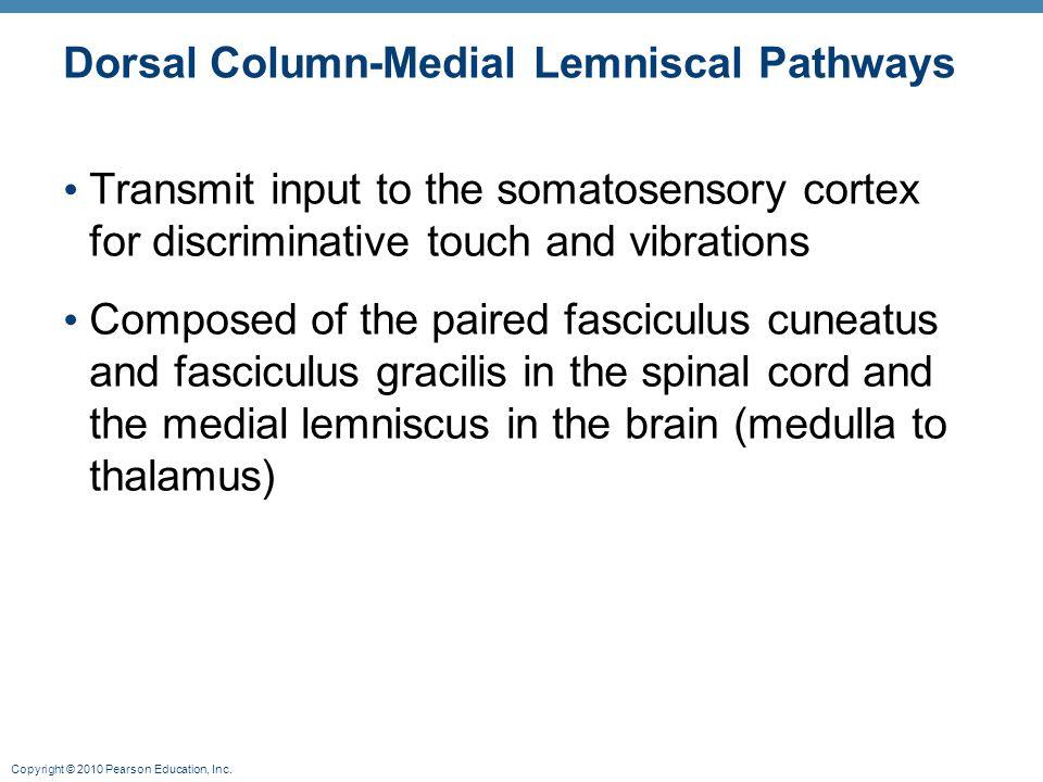 Copyright © 2010 Pearson Education, Inc. Dorsal Column-Medial Lemniscal Pathways Transmit input to the somatosensory cortex for discriminative touch a