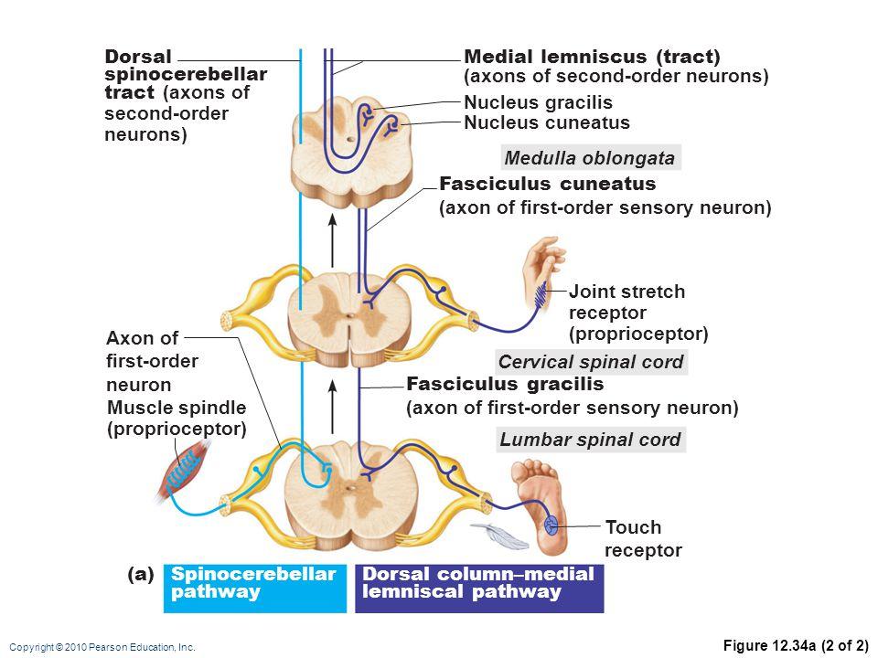 Copyright © 2010 Pearson Education, Inc. Figure 12.34a (2 of 2) Medulla oblongata Fasciculus cuneatus (axon of first-order sensory neuron) Fasciculus