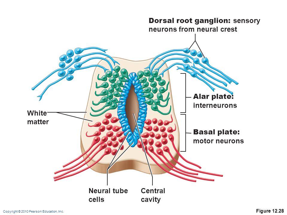 Copyright © 2010 Pearson Education, Inc. Figure 12.28 White matter Neural tube cells Central cavity Alar plate: interneurons Dorsal root ganglion: sen