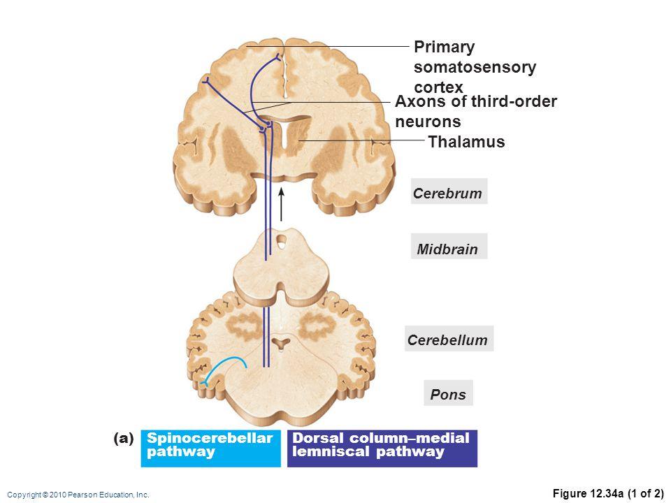 Copyright © 2010 Pearson Education, Inc. Figure 12.34a (1 of 2) Primary somatosensory cortex Axons of third-order neurons Thalamus Cerebrum Midbrain C