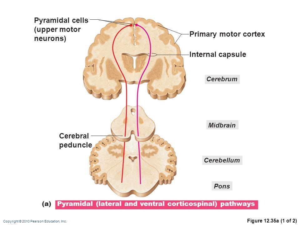 Copyright © 2010 Pearson Education, Inc. Figure 12.35a (1 of 2) Primary motor cortex Internal capsule Cerebral peduncle Midbrain Cerebellum Cerebrum P