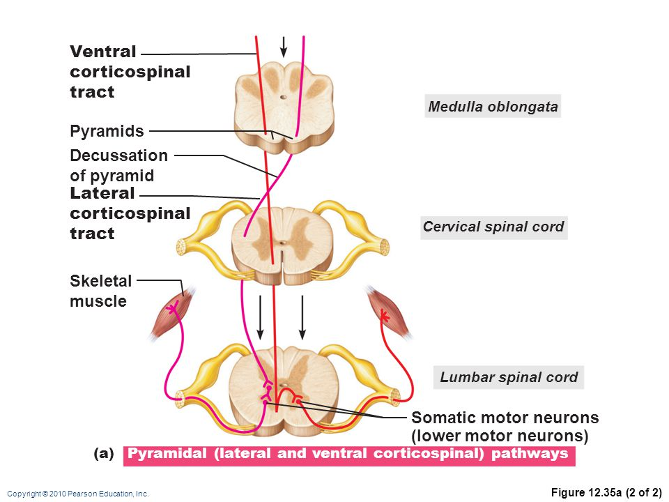 Copyright © 2010 Pearson Education, Inc. Figure 12.35a (2 of 2) Medulla oblongata Cervical spinal cord Skeletal muscle Pyramids Decussation of pyramid
