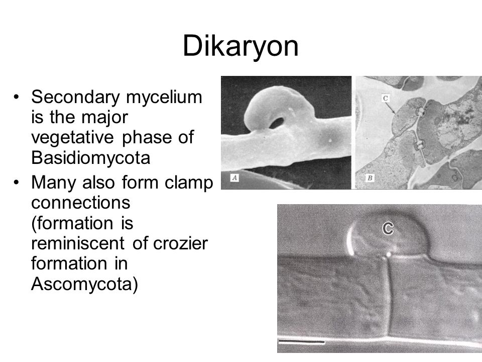 Dikaryon Secondary mycelium is the major vegetative phase of Basidiomycota Many also form clamp connections (formation is reminiscent of crozier formation in Ascomycota)