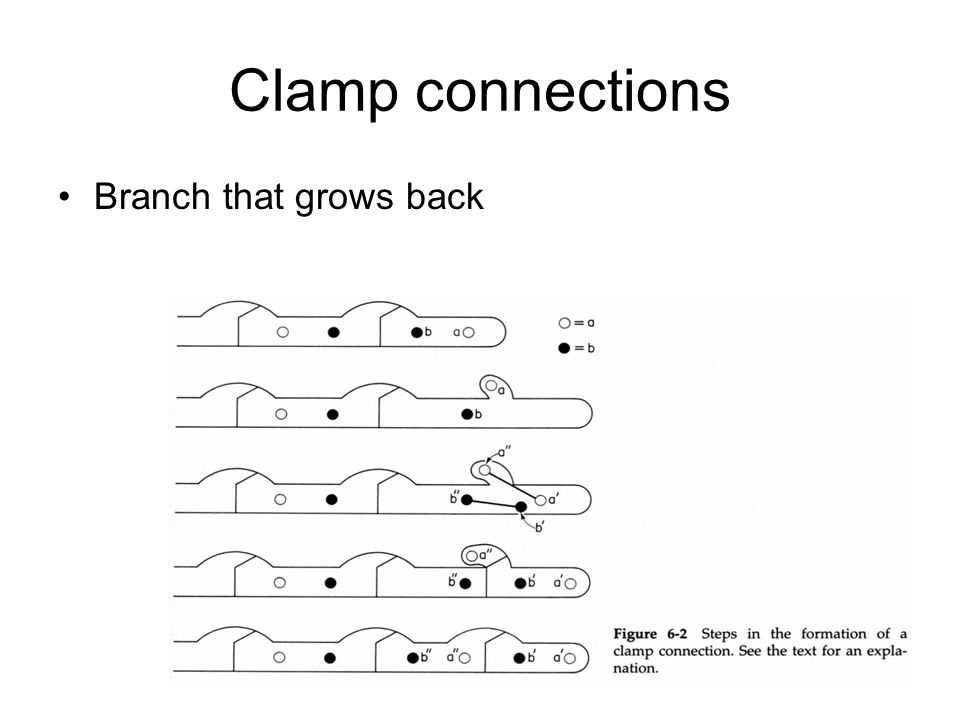 Clamp connections Branch that grows back