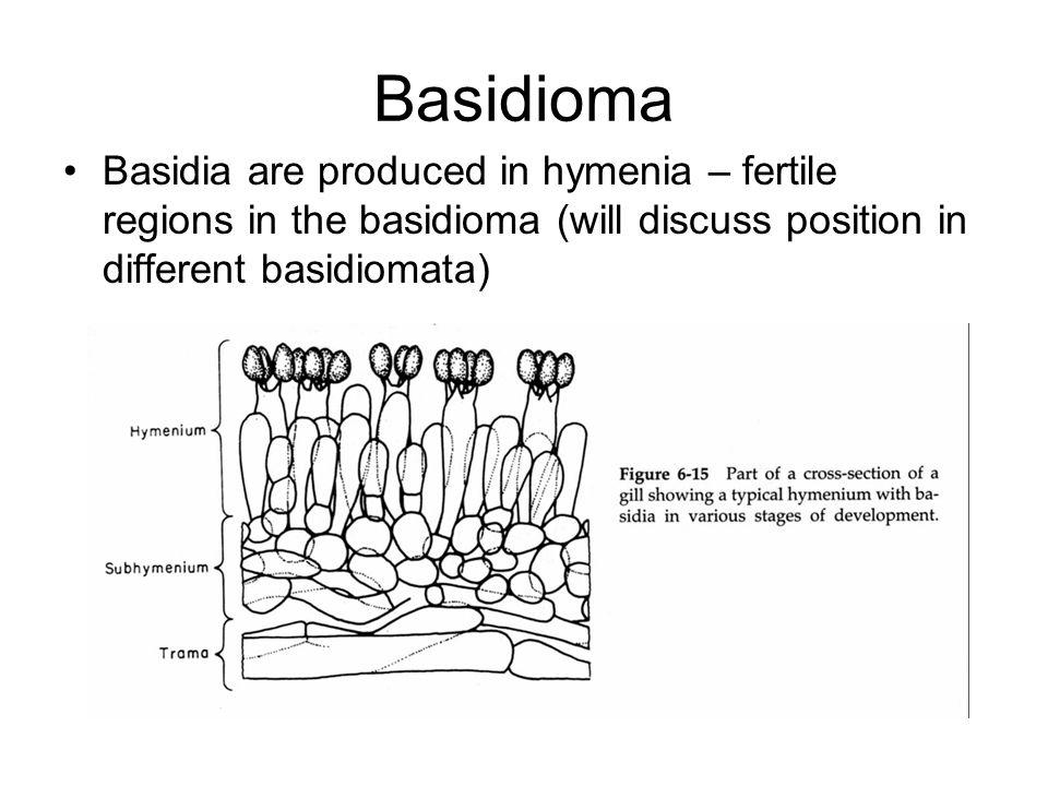 Basidioma Basidia are produced in hymenia – fertile regions in the basidioma (will discuss position in different basidiomata)