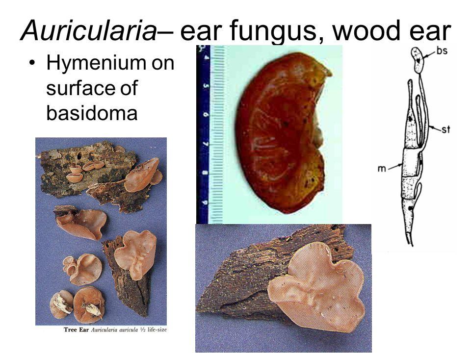 Auricularia– ear fungus, wood ear Hymenium on surface of basidoma