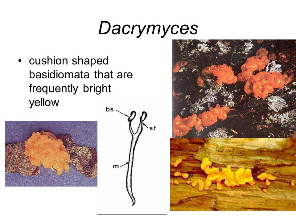 Dacrymyces cushion shaped basidiomata that are frequently bright yellow