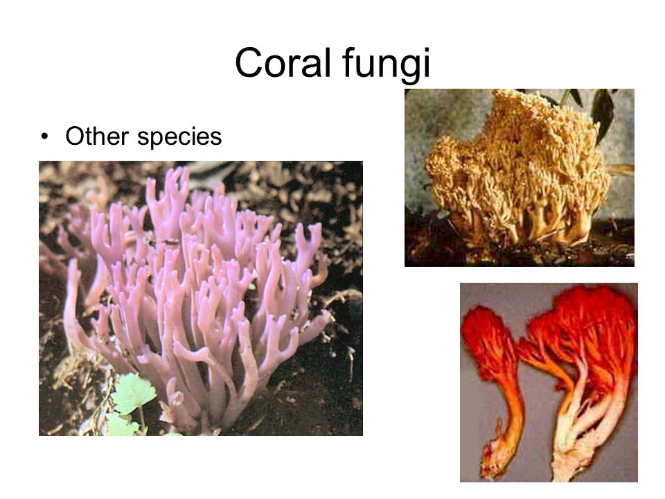 Coral fungi Other species