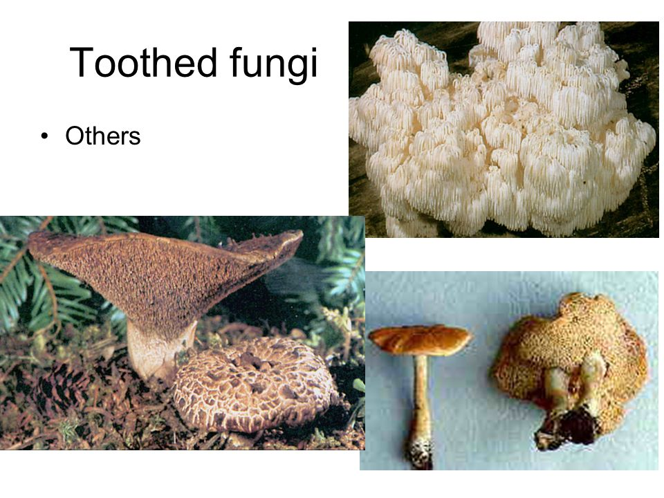 Toothed fungi Others