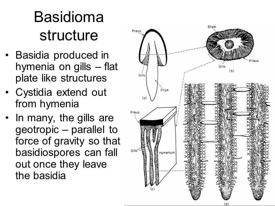 Basidioma structure Basidia produced in hymenia on gills – flat plate like structures Cystidia extend out from hymenia In many, the gills are geotropic – parallel to force of gravity so that basidiospores can fall out once they leave the basidia