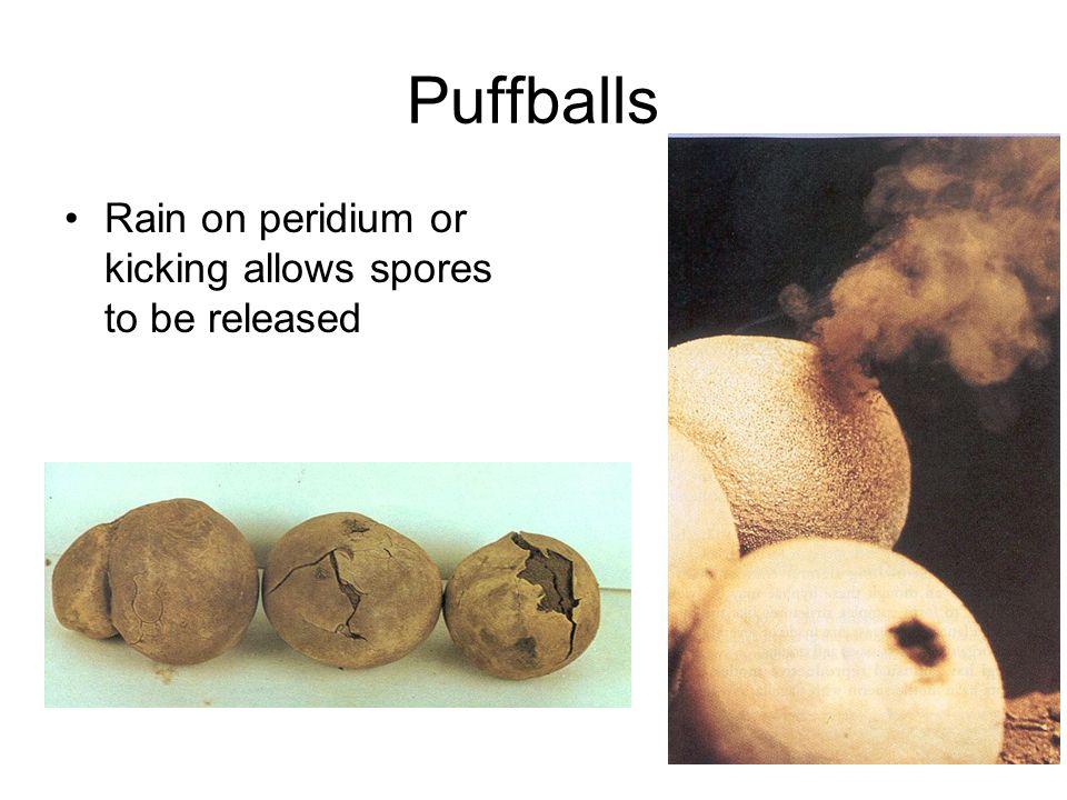 Puffballs Rain on peridium or kicking allows spores to be released
