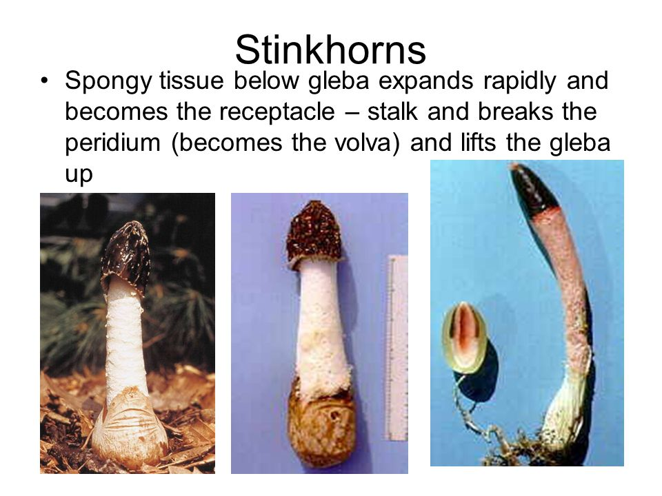 Stinkhorns Spongy tissue below gleba expands rapidly and becomes the receptacle – stalk and breaks the peridium (becomes the volva) and lifts the gleba up