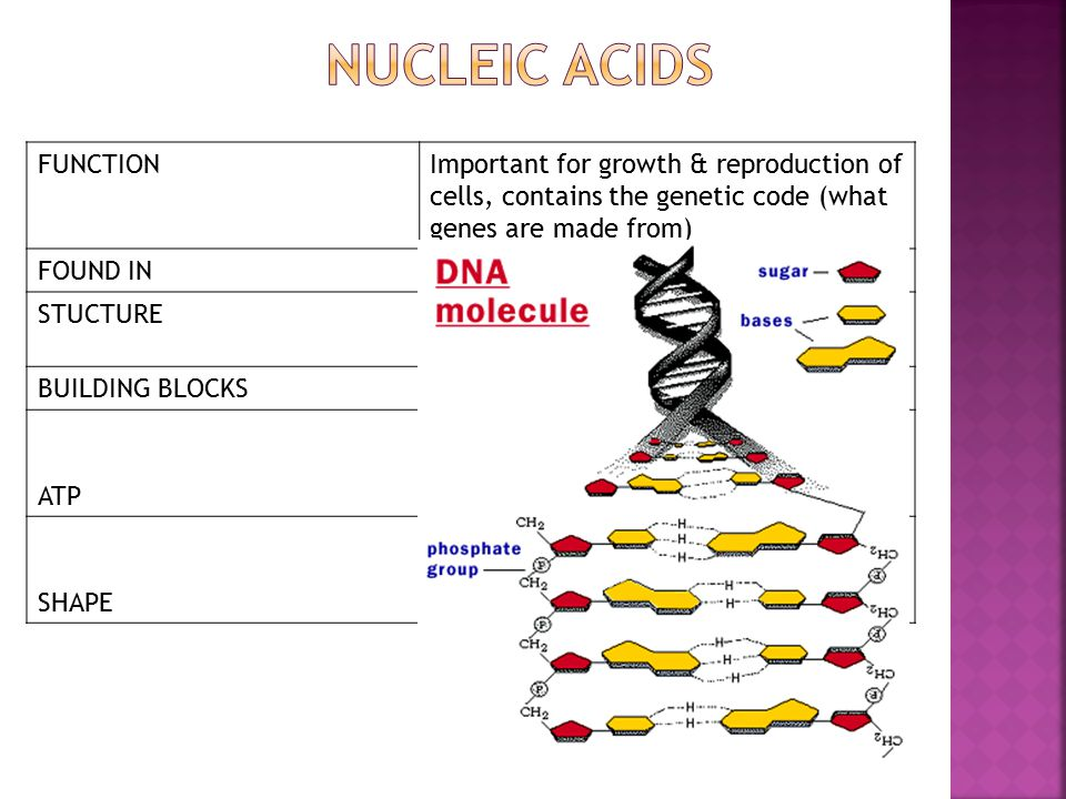 FUNCTIONImportant for growth & reproduction of cells, contains the genetic code (what genes are made from) FOUND INGenes – 2 types DNA and RNA STUCTURESugar (deoxyribose or ribose), phosphate, nitrogen bases BUILDING BLOCKSNucleotides ATP A nucleic acid that is made in the cell's mitochondria.