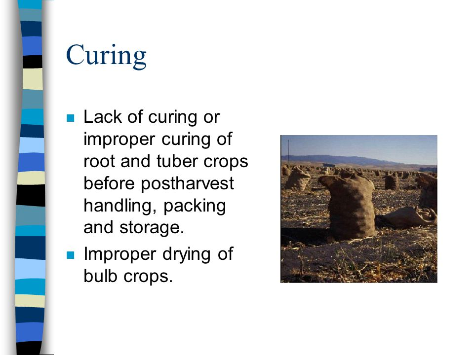 Curing Lack of curing or improper curing of root and tuber crops before postharvest handling, packing and storage. Improper drying of bulb crops.
