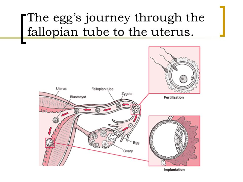 Week Four The blastocyst, or the fertilized egg, is deep inside the uterus.