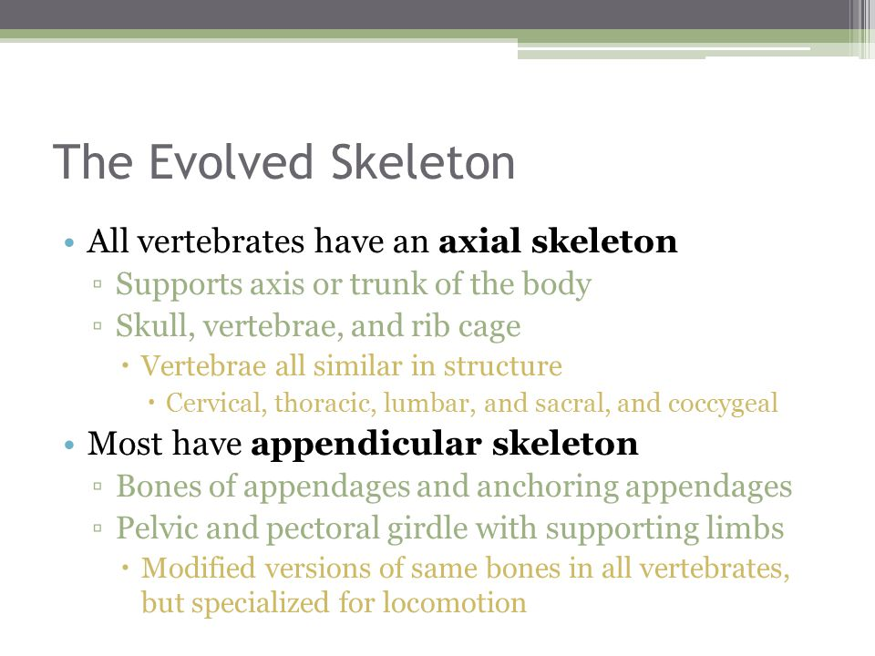 The Evolved Skeleton All vertebrates have an axial skeleton ▫Supports axis or trunk of the body ▫Skull, vertebrae, and rib cage  Vertebrae all similar in structure  Cervical, thoracic, lumbar, and sacral, and coccygeal Most have appendicular skeleton ▫Bones of appendages and anchoring appendages ▫Pelvic and pectoral girdle with supporting limbs  Modified versions of same bones in all vertebrates, but specialized for locomotion