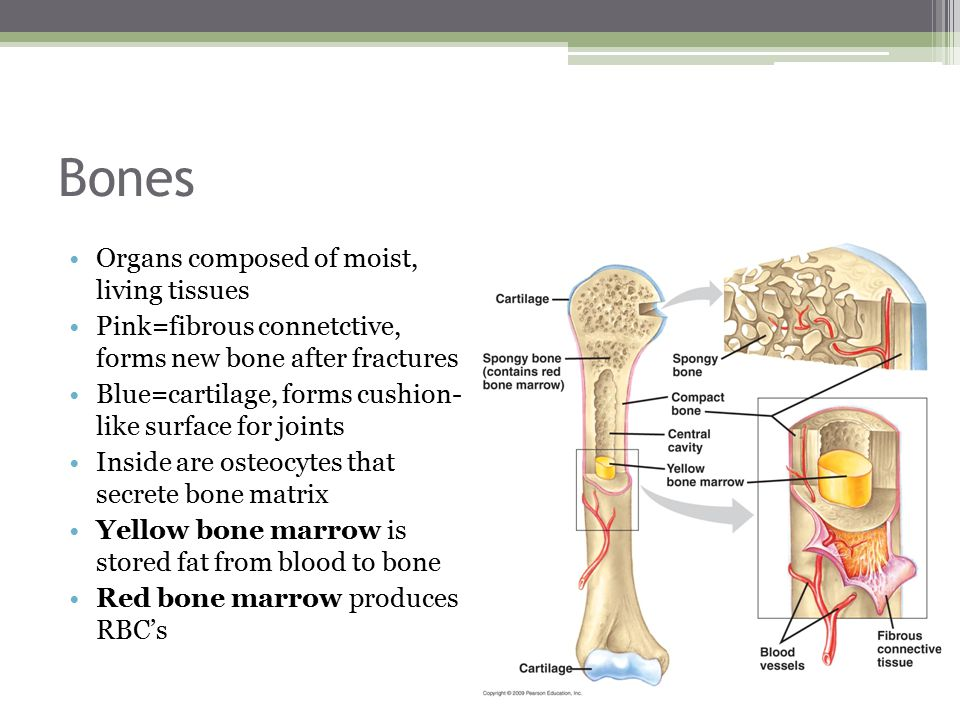 Bones Organs composed of moist, living tissues Pink=fibrous connetctive, forms new bone after fractures Blue=cartilage, forms cushion- like surface for joints Inside are osteocytes that secrete bone matrix Yellow bone marrow is stored fat from blood to bone Red bone marrow produces RBC's