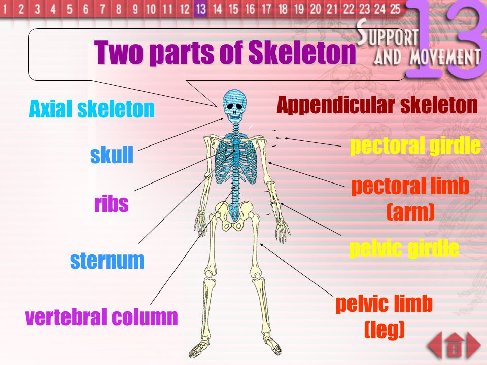  Appendicular Skeleton: pectoral girdle pelvic girdle - lies on either side of the body - include pectoral girdles, pelvic girdles and limb bones
