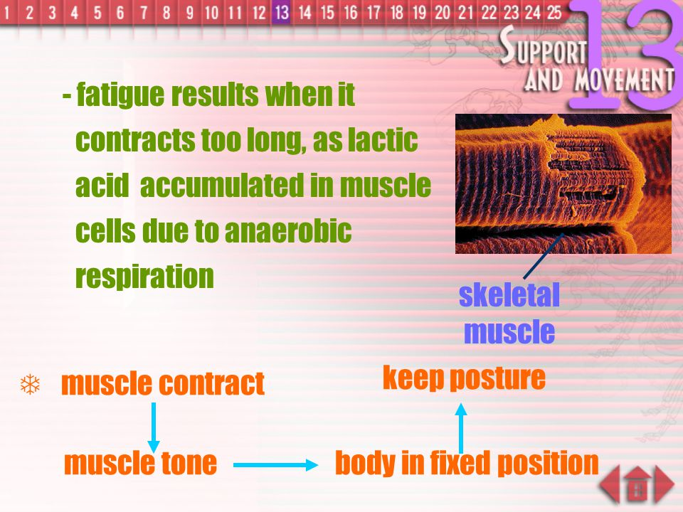  skeletal muscle: skeletal muscle - muscles attached to bone surface - voluntary, under conscious control - gives powerful contraction and become thi
