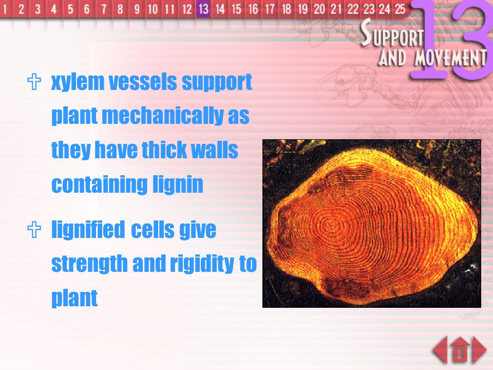Rigidity of Xylem  When dicotyledonous plant grows older, more secondary xylem tissue formed by vascular cambium, plant becomes woody xylem vessels
