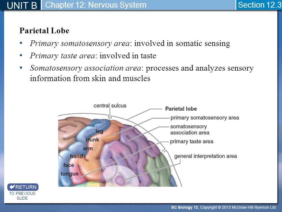 Parietal Lobe Primary somatosensory area: involved in somatic sensing Primary taste area: involved in taste Somatosensory association area: processes