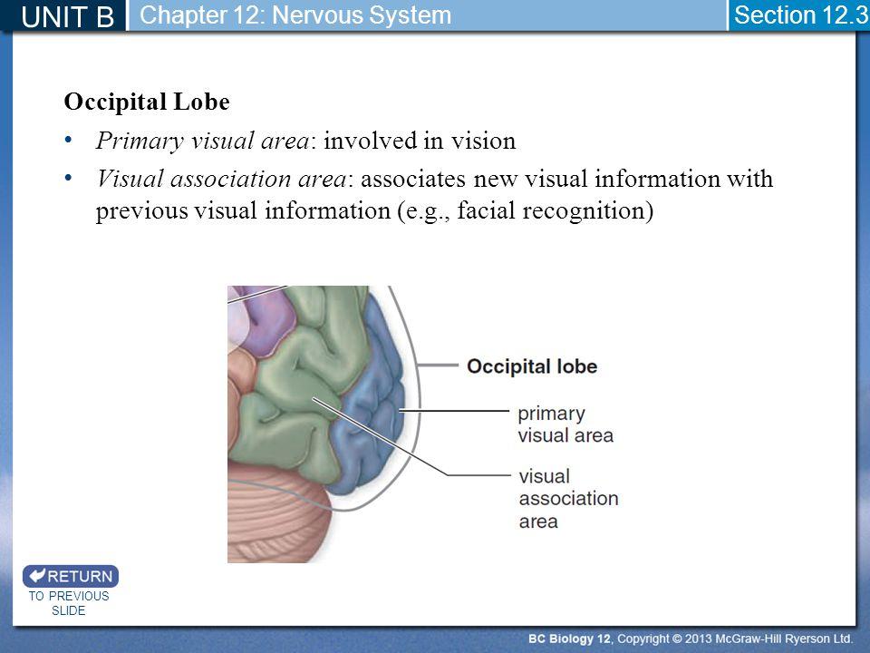 Occipital Lobe Primary visual area: involved in vision Visual association area: associates new visual information with previous visual information (e.