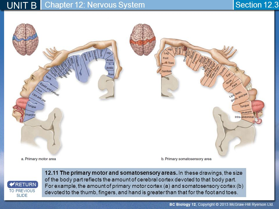 UNIT B TO PREVIOUS SLIDE Section 12.3 Chapter 12: Nervous System 12.11 The primary motor and somatosensory areas. In these drawings, the size of the b