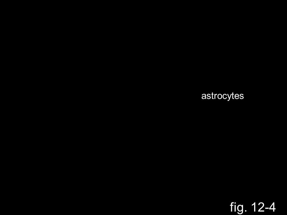 fig. 12-4 astrocytes