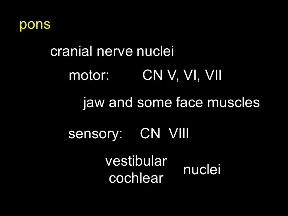 pons cranial nerve nuclei CN V, VI, VIImotor: jaw and some face muscles sensory:CNVIII vestibular cochlear nuclei