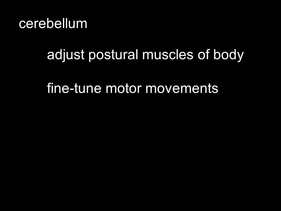 cerebellum adjust postural muscles of body fine-tune motor movements