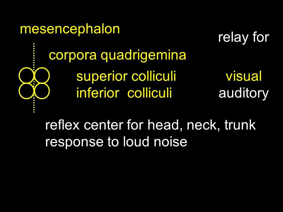 mesencephalon corpora quadrigemina superior colliculi inferior colliculi visual auditory relay for reflex center for head, neck, trunk response to loud noise