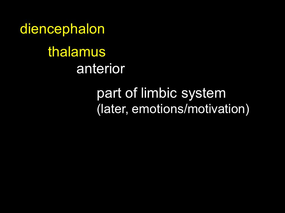 thalamus anterior diencephalon part of limbic system (later, emotions/motivation)