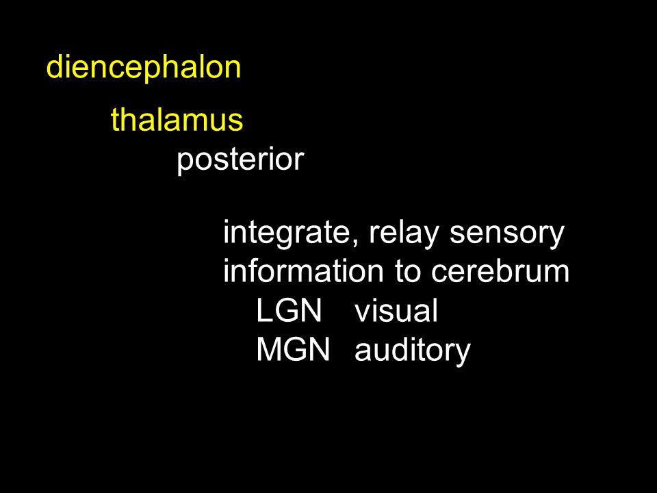 thalamus posterior diencephalon integrate, relay sensory information to cerebrum LGNvisual MGNauditory