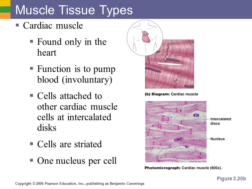 Copyright © 2006 Pearson Education, Inc., publishing as Benjamin Cummings Muscle Tissue Types  Cardiac muscle  Found only in the heart  Function is to pump blood (involuntary)  Cells attached to other cardiac muscle cells at intercalated disks  Cells are striated  One nucleus per cell Figure 3.20b