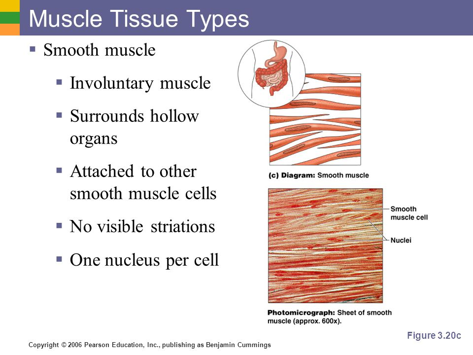 Copyright © 2006 Pearson Education, Inc., publishing as Benjamin Cummings Muscle Tissue Types  Smooth muscle  Involuntary muscle  Surrounds hollow organs  Attached to other smooth muscle cells  No visible striations  One nucleus per cell Figure 3.20c