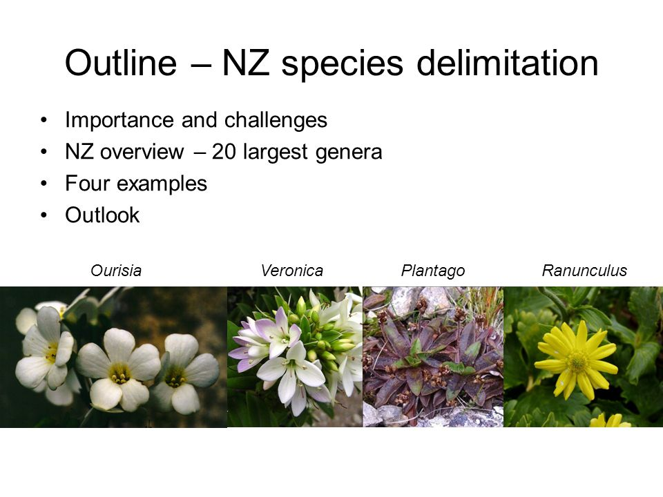Outline – NZ species delimitation Importance and challenges NZ overview – 20 largest genera Four examples Outlook OurisiaVeronicaPlantagoRanunculus