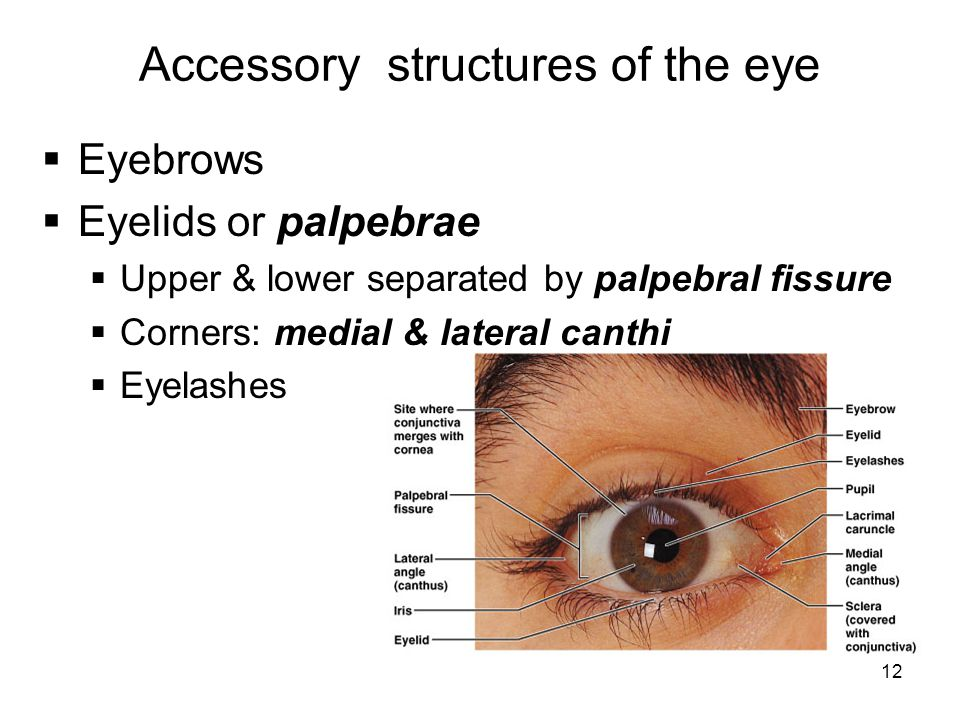 12 Accessory structures of the eye  Eyebrows  Eyelids or palpebrae  Upper & lower separated by palpebral fissure  Corners: medial & lateral canthi