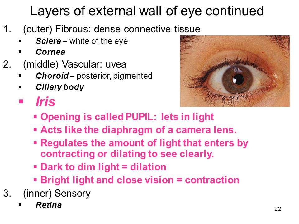22 Layers of external wall of eye continued 1.(outer) Fibrous: dense connective tissue  Sclera – white of the eye  Cornea 2.(middle) Vascular: uvea