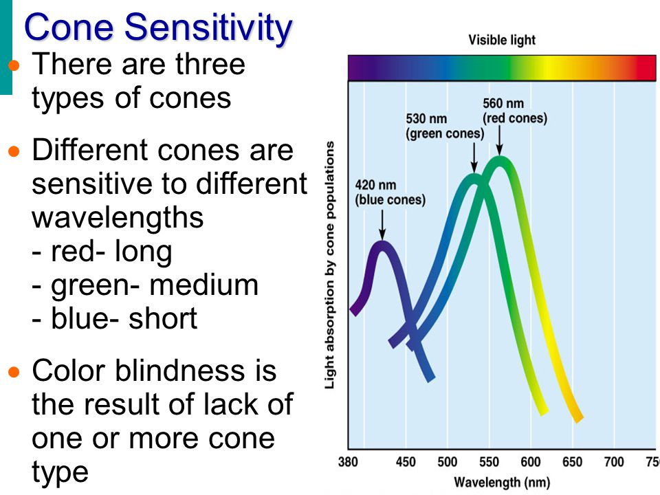 Cone Sensitivity  There are three types of cones  Different cones are sensitive to different wavelengths - red- long - green- medium - blue- short 