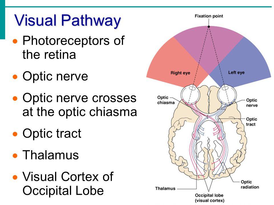 Visual Pathway  Photoreceptors of the retina  Optic nerve  Optic nerve crosses at the optic chiasma  Optic tract  Thalamus  Visual Cortex of Occ