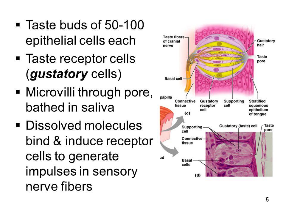 5  Taste buds of 50-100 epithelial cells each  Taste receptor cells (gustatory cells)  Microvilli through pore, bathed in saliva  Dissolved molecu