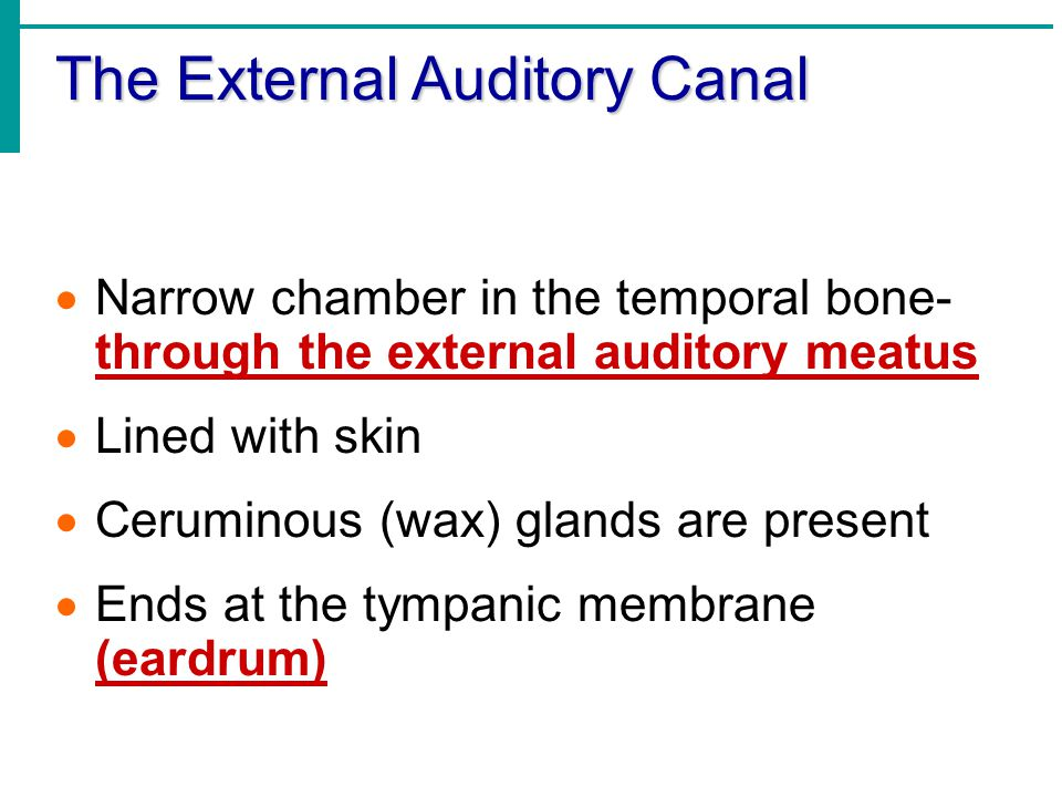 The External Auditory Canal  Narrow chamber in the temporal bone- through the external auditory meatus  Lined with skin  Ceruminous (wax) glands ar